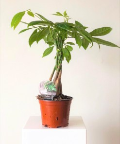 pachira_geldboom1