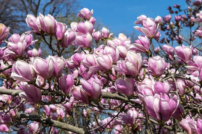 Slikovni rezultat za magnolija