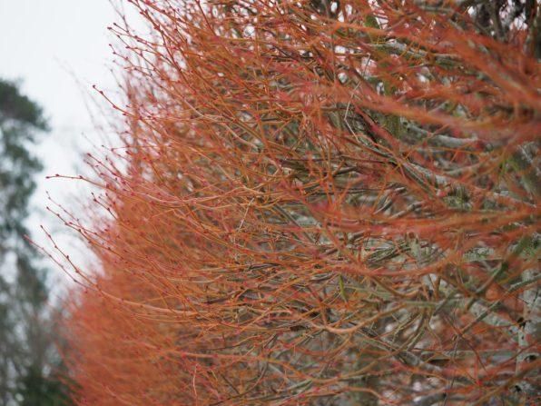 Tilia cordata 'Winter Orange'