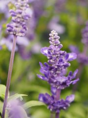 Salvia 'Midnight Candle'