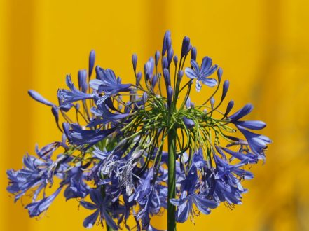 The Agapanthus in Alan Rudden's Living La vida 120 garden looked stunning with the Pantone 123 yellow backdrop (my favourite Pantone number ever!