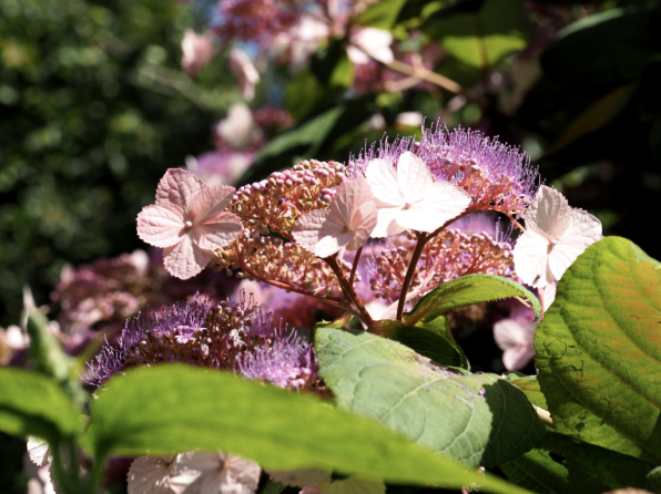 Hydrangea aspera Kawakamii