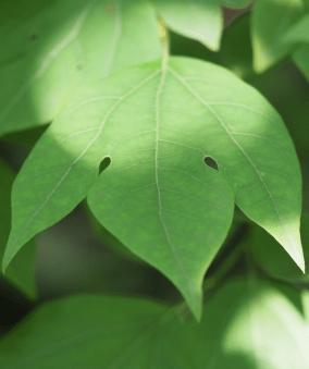 Lindera triloba