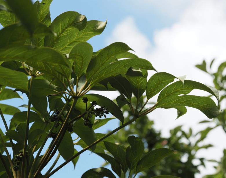 Schefflera alpina