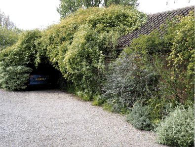 If you look closely you might see a car parked in the garage clothed in Rosa banksiae var. normalis, which has the sweetest scent