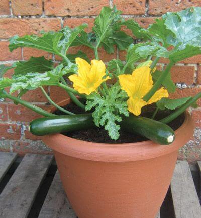 Courgette - Vegetable garden