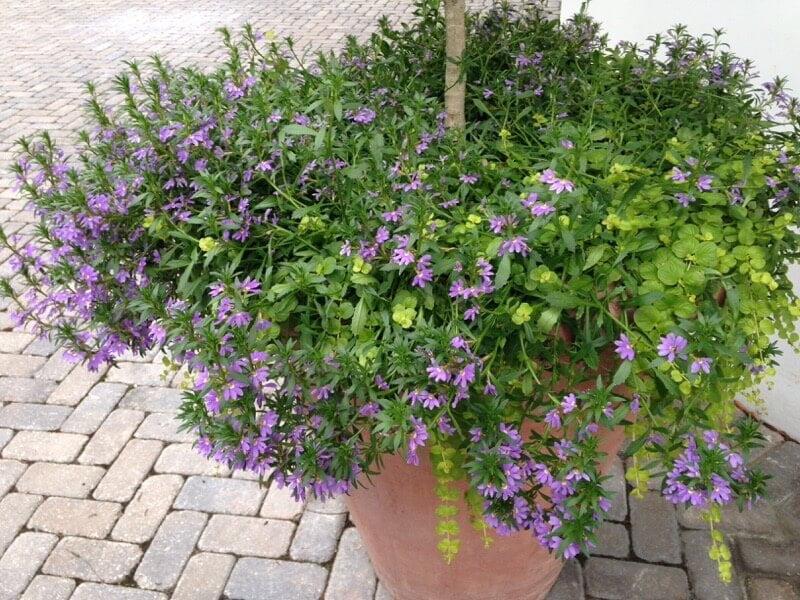 Fan flower - Flowering plants