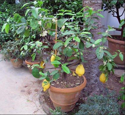 Citron - Fruit garden