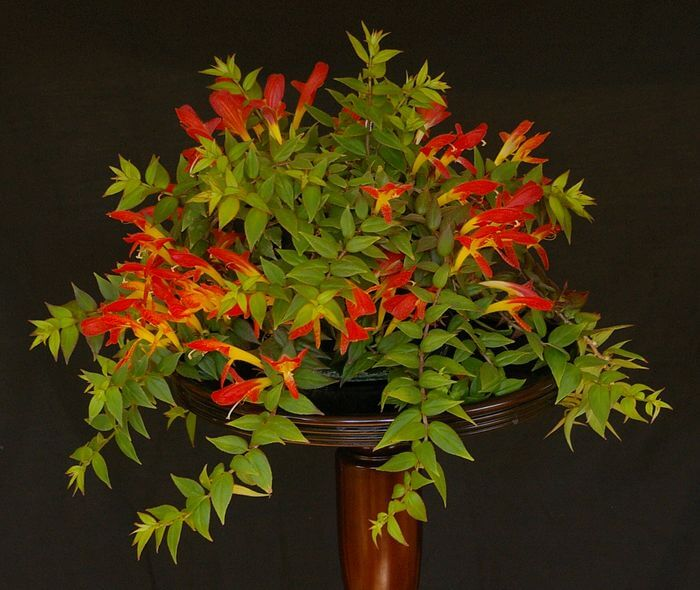 Columnea crassifolia - Flowering plants
