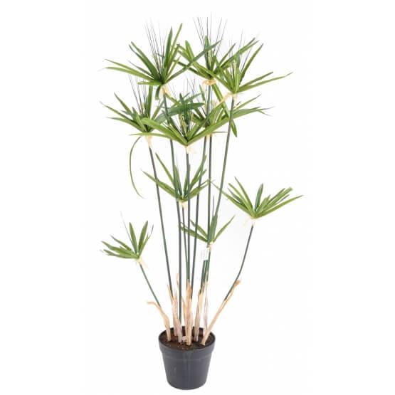 Umbrella Palm - Indoor House Plants
