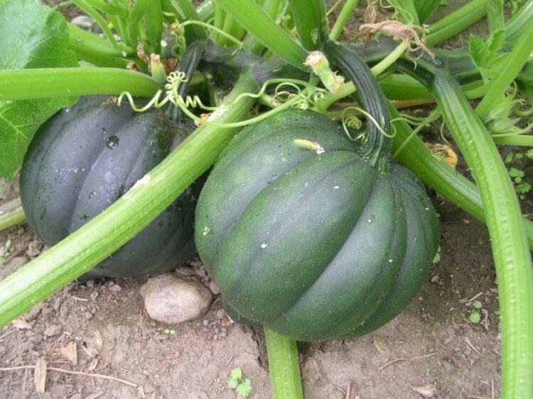 Acorn squash - Vegetable garden