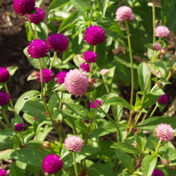 Gomphrena globosa - Flowering plants