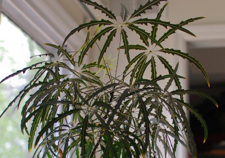 False aralia - House Plants