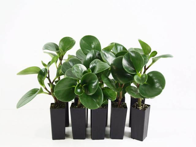 Peperomia obtusifolia - Indoor House Plants