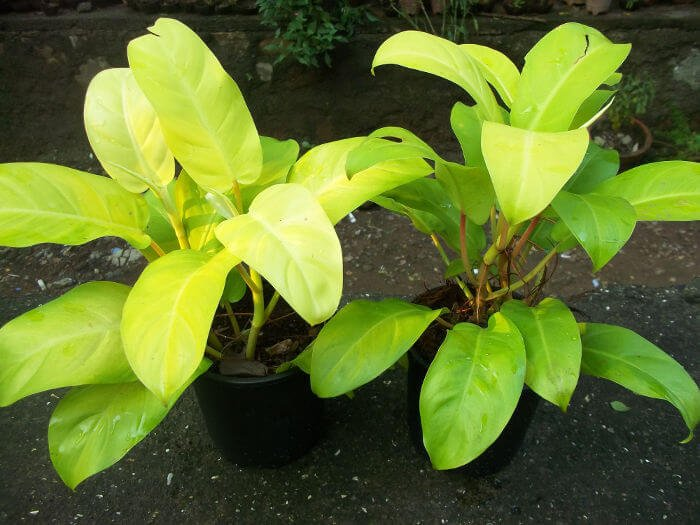 Philodendron Ceylon Gold - Indoor Plants
