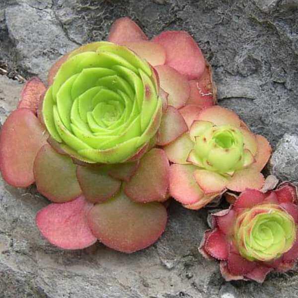 Aeonium glandulosum (Saucer Plant)