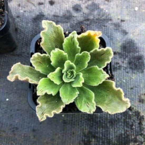 Aeonium smithii