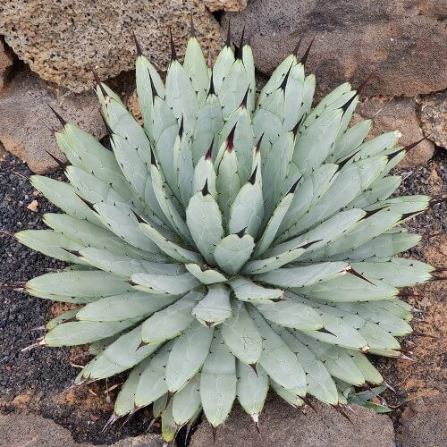 Agave macroacantha (Black Spined Agave)