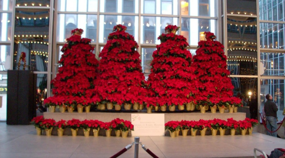 Large Poinsettia Trees