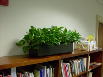 office planter of pothos