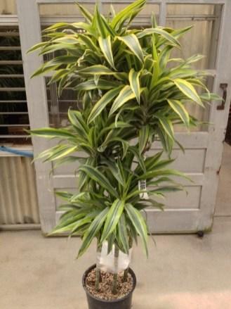goldstar warneckii cane