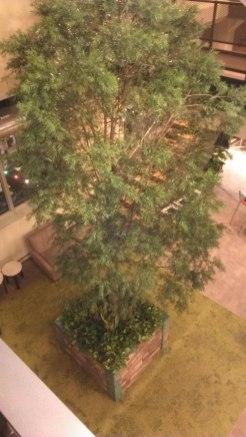 large indoor podocarpus