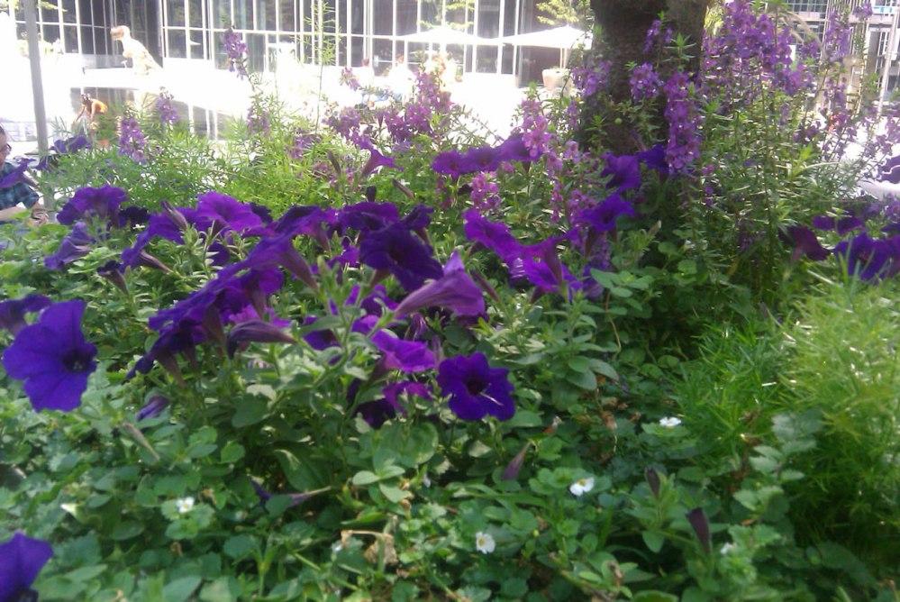 petunia outdoor planter