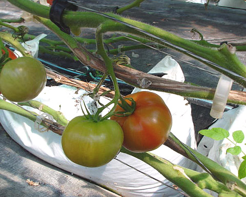 botrytis on tomato factsheet cornell university - 480×385