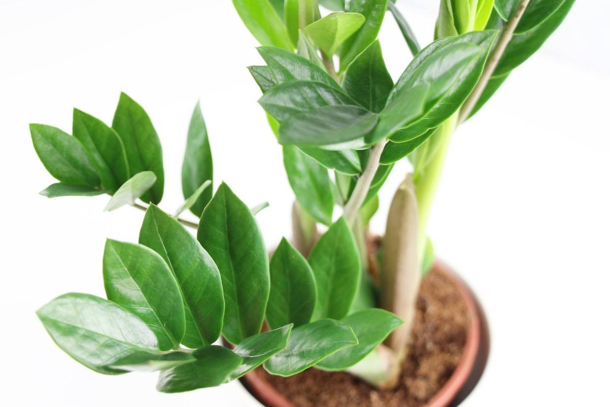ZZ Plant, Zamioculcas Zamiifolia, Aroid Palm- How To Grow ... on Zz Plant Care  id=31717