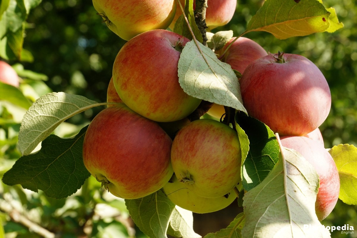 When To Prune Apple Trees How To Prune An Apple Tree