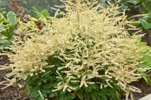 Aruncus 'Chantilly Lace' (Goat's Beard)