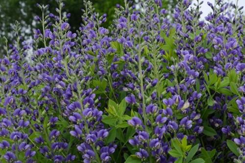 Baptisia Decadence 'Blueberry Sundae' (false indigo)