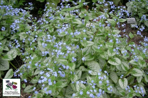Brunnera Jack Frost Siberian Bugloss Plant Paradise Country Gardens