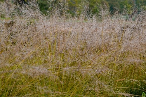 Sporobolus heterolepis Gone with the Wind prairie dropseed grass