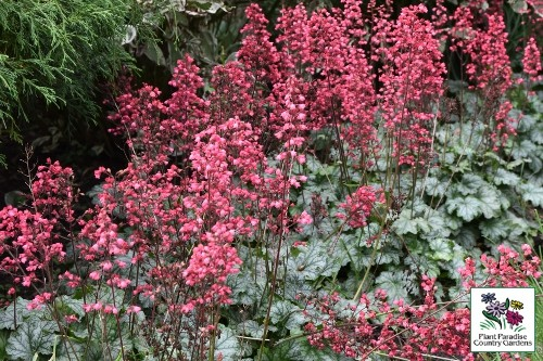 Heuchera 'Paris' (coral bells)