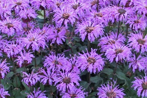 Monarda 'Blue Moon' (bee balm)
