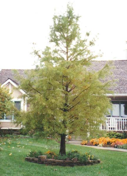 Bald Cypres Tree