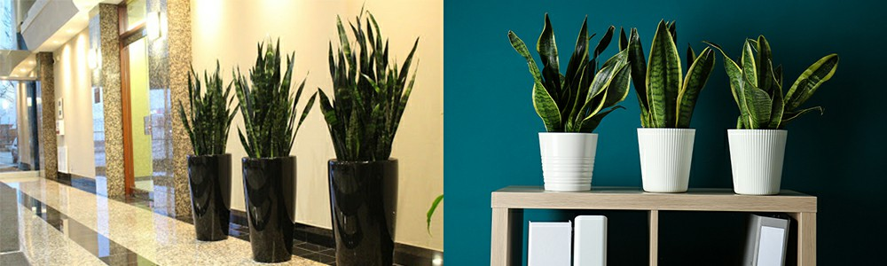 artificial snake plants application