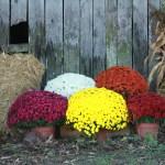 Fall Mum Fundraiser Plants For Profits
