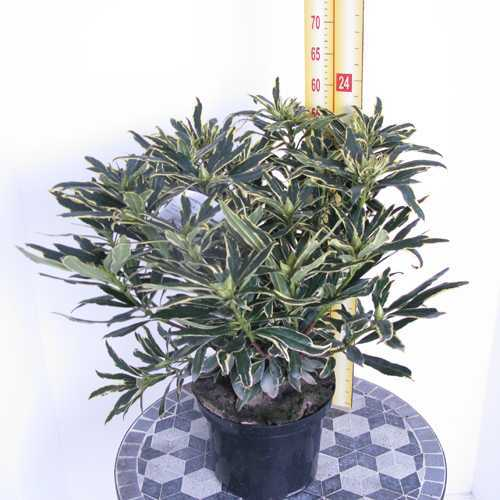 Cheap Rhododendron Variegata Ponticum Buy Variegated Rhododendron Rhododendron Online