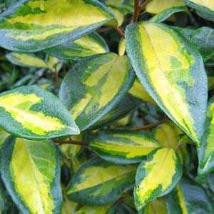 Cheap Topiary Plants Online Evergreen Topiary Online