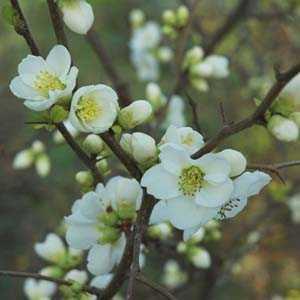 Cheap Chaenomeles Speciosa Nivalis Cheap White Flowering
