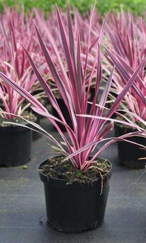Cheap Cordyline Australis Pink Passion Buy Cordylines Uk