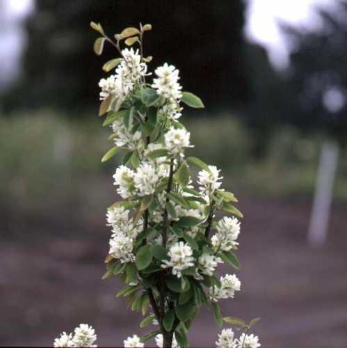 Cheap Amelanchier Alnifolia Obelisk Cheap Juneberry Uk