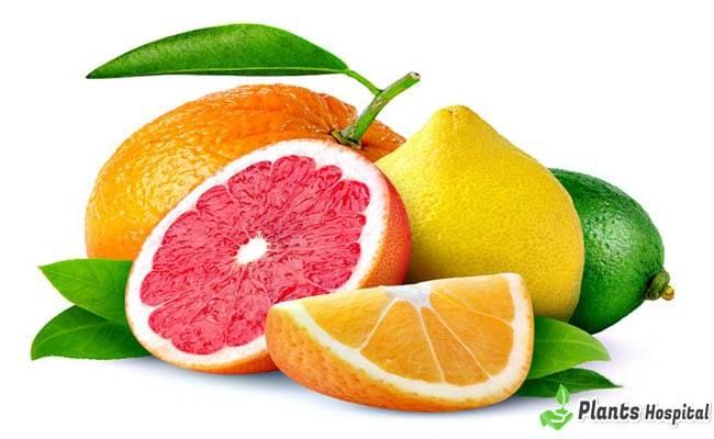 "Citrus-Fruits ""width ="" 650 ""height ="" 400 ""srcset ="" https://i1.wp.com/www.plantshospital.com/wp-content/uploads/2019/08/Citrus-Fruits.jpg?w=1140&ssl=1 650w, https: // www. plantshospital.com/wp-content/uploads/2019/08/Citrus-Fruits-300x185.jpg 300w ""tamaños ="" (ancho máximo: 650px) 100vw, 650px ""></p data-recalc-dims="