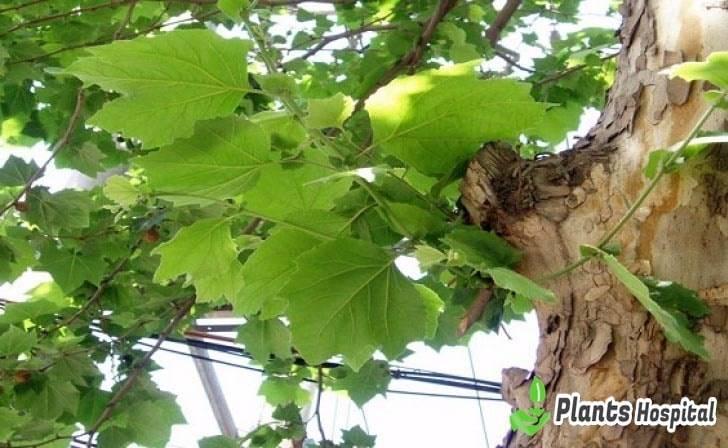 "beneficios de hoja de sicómoro ""width ="" 728 ""height ="" 448 ""srcset ="" https://i1.wp.com/www.plantshospital.com/wp-content/uploads/2019/08/sycamore-leaf-benefits.jpg?w=1140&ssl=1 728w, https: //www.plantshospital.com/wp-content/uploads/2019/08/sycamore-leaf-benefits-300x185.jpg 300w ""tamaños ="" (ancho máximo: 728px) 100vw, 728px ""><figcaption id="