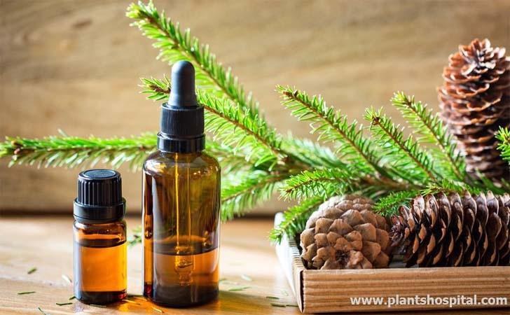 """beneficios de aceite esencial de aguja de abeto """"width ="""" 728 """"height ="""" 450 """"srcset ="""" https://www.plantshospital.com/wp-content/uploads/2019/10/fir-needle-essential-oil -benefits.jpg 728w, https://www.plantshospital.com/wp-content/uploads/2019/10/fir-needle-essential-oil-benefits-300x185.jpg 300w """"tamaños ="""" (ancho máximo: 728px ) 100vw, 728px """"></p> <h2>¿Cuáles son los beneficios del aceite esencial de aguja de abeto?</h2> <h3>1. ¡Lucha contra el cáncer!</h3> <p>Investigación en <strong>aceite esencial de aguja de abeto</strong> muestra que tiene un contenido efectivo contra el cáncer. Las propiedades antitumorales son muy intensas en el aceite esencial de aguja de abeto. Debido a esta característica, este aceite esencial funciona como un medicamento contra el cáncer natural.</p> <p>Según estudios, <strong>aceite esencial de aguja de abeto</strong> y el alfa-humuleno causan una disminución dependiente de la dosis y el tiempo en el glutatión celular y un aumento en la producción de especies reactivas de oxígeno. Estos resultados muestran que el alfa-humuleno y el aceite de abeto juegan un papel importante en la lucha contra el cáncer.</p> <h3>2. ¡Es infeccioso y terapéutico!</h3> <p>La infección provoca una gran cantidad de enfermedades diferentes en el cuerpo. A este respecto, son productos naturales muy valiosos que previenen y eliminan las infecciones. Los aceites esenciales obtenidos de agujas de abeto también contienen altas concentraciones de compuestos orgánicos que ayudan a prevenir infecciones peligrosas.</p> <div class="""