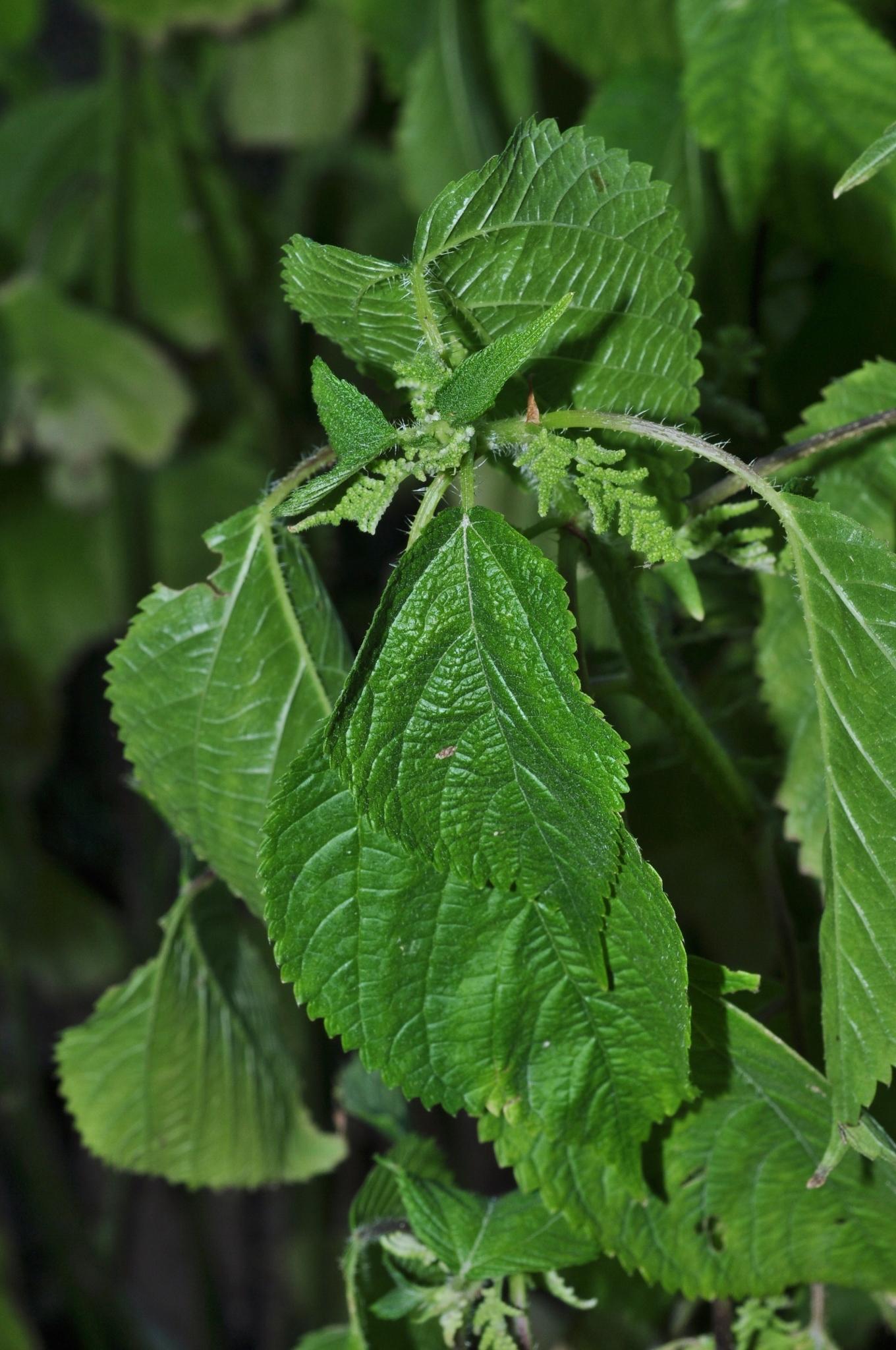 Swamedikasi, myalgia dan daun gatal (laportea decumana). Laportea canadensis (Urticaceae) image 42311 at ...