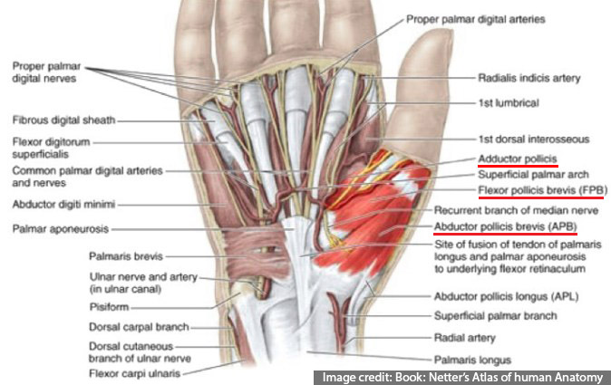 Thenar Muscles Surgical Anatomy Of Hand Opposition Of Thumb