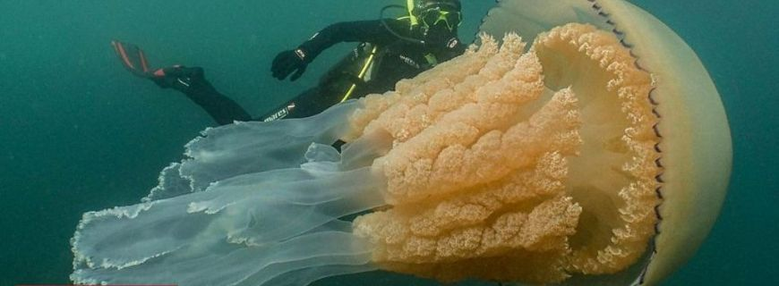 Giant Jellyfish found underwater